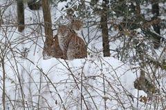 Евроазиатский рысь в баварском национальном парке в восточной Германии Стоковые Изображения RF