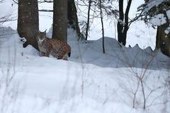 Евроазиатский рысь в баварском национальном парке в восточной Германии Стоковое Изображение RF