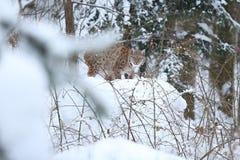 Евроазиатский рысь в баварском национальном парке в восточной Германии Стоковые Изображения