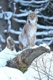 Евроазиатский рысь в баварском национальном парке в восточной Германии Стоковые Фото