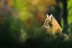 Евроазиатский рысь в лесе Стоковое фото RF