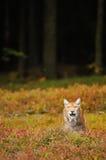 Евроазиатский рысь в лесе Стоковая Фотография RF