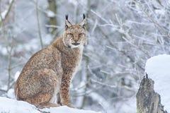 Евроазиатский рысь в снеге Стоковые Изображения