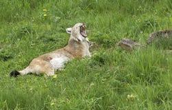 Евроазиатский рысь зевая Стоковые Изображения RF