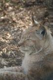 Евроазиатский рысь - рысь рыся Стоковые Фотографии RF