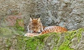 Евроазиатский рысь (рысь рыся) Стоковые Фото