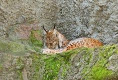 Евроазиатский рысь (рысь рыся) Стоковое Изображение