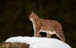 Евроазиатский рысь рыся рыся в зиме Стоковое Изображение RF