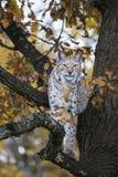 Евроазиатский рысь сидя в дереве осени стоковое изображение
