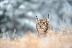 Евроазиатский рысь сидя на земле в зимнем времени Стоковые Изображения RF