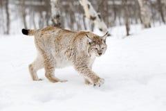 Евроазиатский рысь Стоковая Фотография