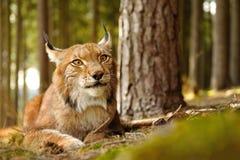 Евроазиатский рысь Стоковые Фото