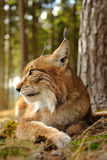 Евроазиатский рысь Стоковое Фото