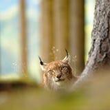Евроазиатский рысь Стоковая Фотография RF