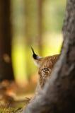 Евроазиатский рысь Стоковые Изображения RF