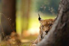 Евроазиатский рысь Стоковое Изображение RF