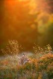 Евроазиатский рысь Стоковые Фотографии RF