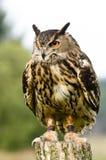 Евроазиатский сыч орла на журнале Стоковая Фотография