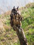 Евроазиатский сыч орла садить на насест на стволе дерева стоковое фото rf