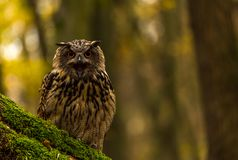 Евроазиатский сыч орла Стоковое Изображение RF