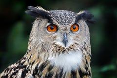 Евроазиатский сыч орла Стоковые Фотографии RF