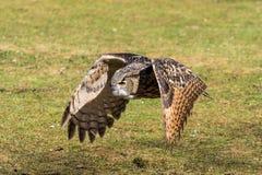 Евроазиатский сыч орла, bubo Bubo в немецком природном парке стоковое фото rf