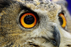 Евроазиатский сыч орла Стоковые Фото