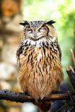 Евроазиатский сыч орла Стоковая Фотография RF