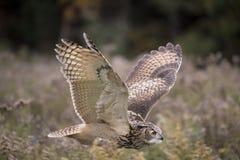 Евроазиатский сыч орла Стоковое Изображение