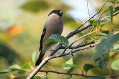 Евроазиатский Bullfinch Стоковые Изображения RF