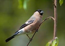 Евроазиатский Bullfinch Стоковое Изображение RF