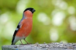 Евроазиатский Bullfinch Стоковая Фотография