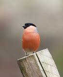 Евроазиатский Bullfinch Стоковое Изображение
