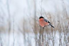 Евроазиатский Bullfinch Стоковая Фотография RF