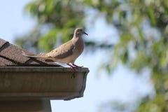 Евроазиатский Collared-голубь на крыше дома Стоковые Фото
