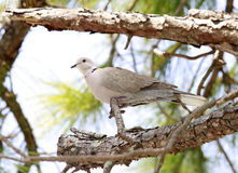 Евроазиатский Collared-голубь над ветвью Стоковое Фото