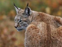 евроазиатский lynx Стоковое Изображение