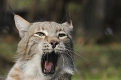 евроазиатский lynx Стоковые Фотографии RF