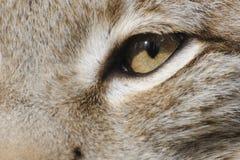 евроазиатский lynx Стоковые Изображения