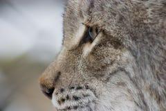 евроазиатский lynx Стоковые Фото