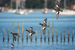 Евроазиатский Wigeon, Wigeon, утка, Пенелопа Anas стоковые фотографии rf