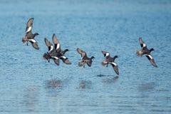 Евроазиатский Wigeon, Wigeon, утка, Пенелопа Anas стоковая фотография rf