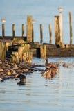 Евроазиатский Wigeon, Wigeon, утка, Пенелопа Anas стоковые фото