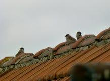 3 евроазиатских воробья дерева на крыше Стоковое Изображение