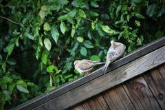 2 евроазиатских Collared-голубя на деревянной загородке Стоковые Изображения RF
