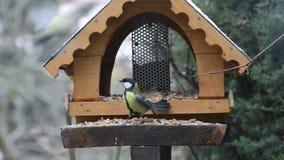 Евроазиатское caeruleus Cyanistes голубой синицы и большой майор Parus синицы на фидере птицы в зиме дом питания птицы сток-видео