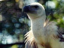 Евроазиатское Griffon Стоковое Фото