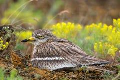 Евроазиатское oedicnemus Burhinus каменного curlew сидя на гнезде Стоковые Фото