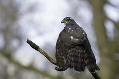 Евроазиатское sparrowhawk сидя на ветви стоковая фотография rf