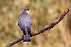 евроазиатское sparrowhawk Стоковое Изображение RF